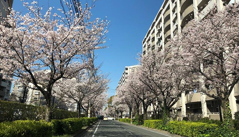 ふぁみりぃスマイル事務所近くの桜は満開